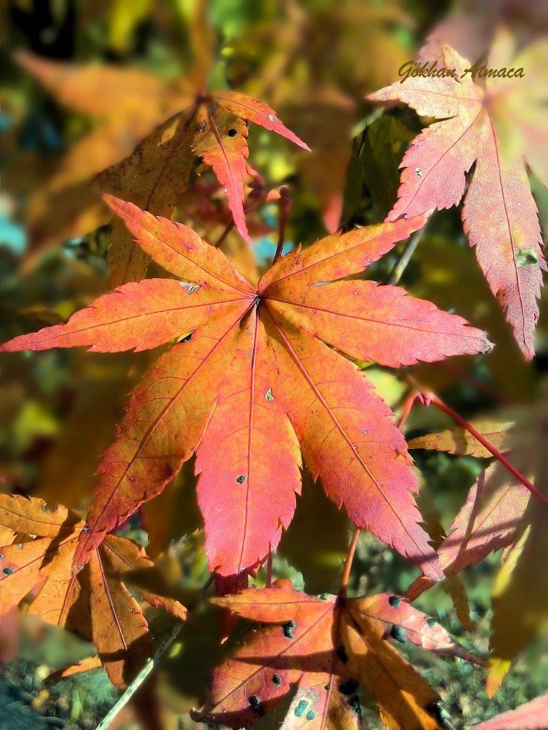 Sonbahar yaprağı makro fotoğraf denemem.